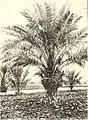 Botanical characters of the leaves of the date palm used in distinguishing cultivated varieties (1915) (19778085714).jpg