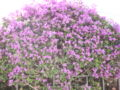 Bougainvillea spectabilis in Calella.JPG
