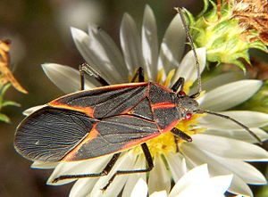 Adult Box Elder Bug