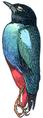 Brève (Millot-1907).png