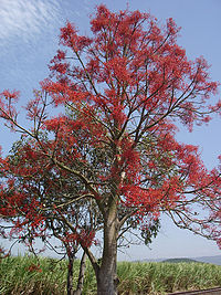 Brachychiton Acerifolius-Tree2