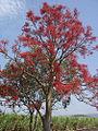 Brachychiton Acerifolius-Tree2.jpg