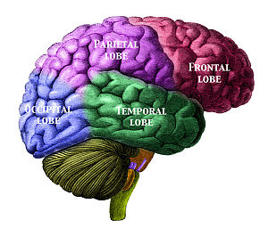 Culture in music cognition - A diagram showing the locations of the lobes of the brain.