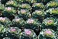 Brassica oleracea Osaka Pink 1zz.jpg