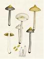 Bresadola - Inocybe geophylla.png