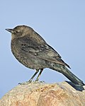 Brewer's Blackbird - female.jpg