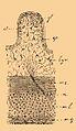 Brockhaus-Efron Echiuridea 5.jpg