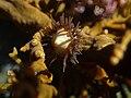 Brooding anemone iridescent tony wills.jpg