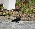 Brown-headed Cowbird. Molothrus ater. Male+Female (26313288749).jpg