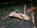 Brown Katydid (Tettigoniidae) (7863477398).jpg