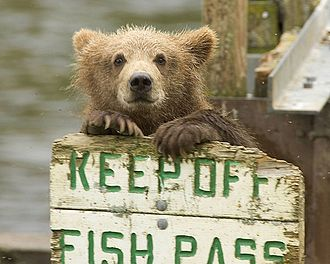 Kodiak National Wildlife Refuge - Grizzly bear cub, waiting for the fish?