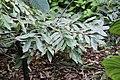 Brownea grandiceps 4zz.jpg