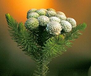 Blütenstand einer Brunia