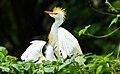 Bubulcus ibis - Lagoa do Mucuripe, Campo Maior, Piauí - 3U3A0763.jpg