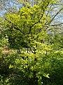 Budai Arborétum. Felső kert. Cseregalagonya vagy kétbibés galagonya (Crataegus laevigata). - Budapest.JPG