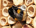 Buff-tailed Bumble bee. Bombus terrestris - Flickr - gailhampshire.jpg