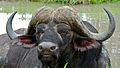 Buffalo (Syncerus caffer) (6005792582).jpg