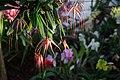 Bulbophyllum Elizabeth Ann Buckleberry - Internationale Orchideen- und Tillandsienschau Blumengärten Hirschstetten 2016 c.jpg