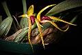 Bulbophyllum recurvilabre Garay, Harvard Pap. Bot. 4 304 (1999) (41125144395).jpg