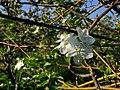 Bunga Apel.jpg