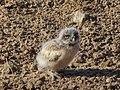 Burrowing Owl (27284076556).jpg