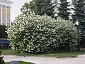 Bush at Lobachevskiy public garden - Куст в сквере Лобачевского - panoramio.jpg