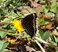 Butterfly Mammoth Lakes (20140420-0047).JPG