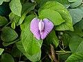 Butterfly pea 2.jpg