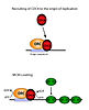 CDC6 Function.jpg