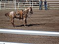 CFD Tie-down roping horse holding calf down with rope.jpg
