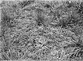 COLLECTIE TROPENMUSEUM Schapenzuring (Rumex acetosella) reigersbek (Erodium cicutarium) vrouwenmantel (Alchemilla villosa) en adelaarsvaren (Pteris aquilina) bij Lalidjiwo op de vulkaan Arjuno TMnr 10024203.jpg