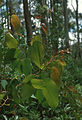CSIRO ScienceImage 205 Eucalyptus Foliage.jpg