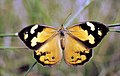 CSIRO ScienceImage 2693 Common BrownWestern Brown Butterfly.jpg