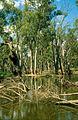 CSIRO ScienceImage 4389 Fallen gums along the banks of Chowilla Creek upstream from Renmark SA 1993.jpg
