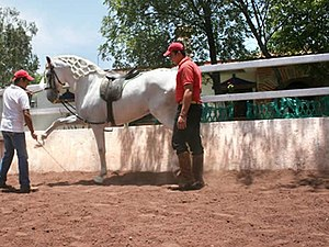 Spanish walk - Horse being cued from the ground to perform the Spanish walk