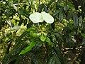Cadaba trifoliata-5-mundanthurai-tirunelveli-India.jpg