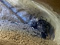 California condor and chick in nest. (37280190880).jpg