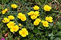 California poppies - Malcolm Manners.jpg