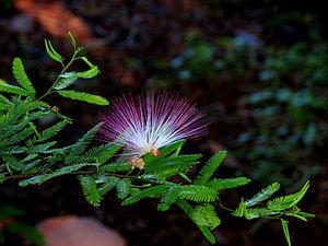 Calliandra brevipes - Flower seen in Hebbal lake park, Bengaluru