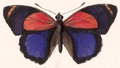 Callicore titania (male upperside).png