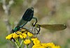 "Calopteryx splendens ""in-cop"""