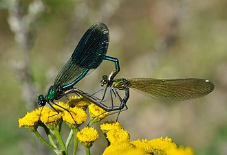 Damselfly - Male (left) and female of the banded demoiselle, Calopteryx splendens, showing their differently coloured wings