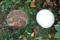 Calvatia gigantea mit zwei Monaten Altersunterschied.jpg