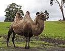 Camel (3867991984)