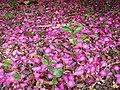 Camellia sasanqua Thunb. (AM AK312698-2).jpg