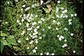 Campanula aparinoides 1-eheep (5097206081).jpg