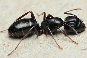Arbeiterin von Camponotus fallax