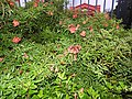 Campsis grandiflora-1-cubbon park-bangalore-India.jpg