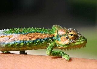 Cape dwarf chameleon Species of reptile