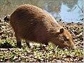 Capivara As capivaras vivem em grupos familiares que podem chegar a 20 indivíduos ou mais. Geralmente, o grupo é composto por um macho dominante, várias fêmeas adultas com filhotes e outros machos subordinad - panoramio.jpg